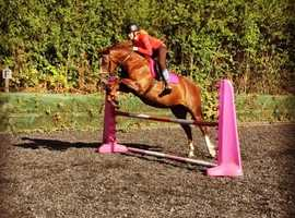 15'2hh absolutely stunning chestnut mare