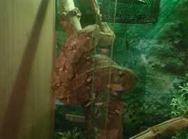 Pure female Hog island boa