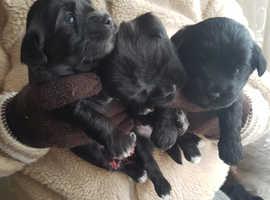 Morkie Yorkshire Terrier Maltese Bichon 4 weeks