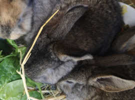Baby giant rabbits for sale to responsible owners only