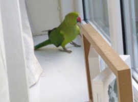 Indian ringneck and cage