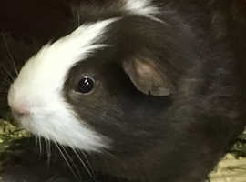 Gorgeous young guinea pigs free to good homes