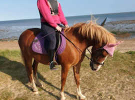 Beautiful new forest mare for part loan
