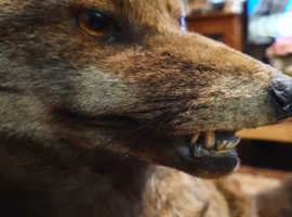 Taxidermy fox on stand