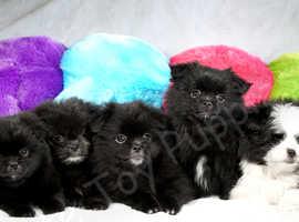 Pomtzu cutest puppies, celebrity's siblings