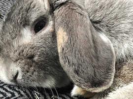 Lop d ear rabbit