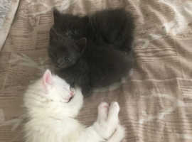 1 white 2 black kittens