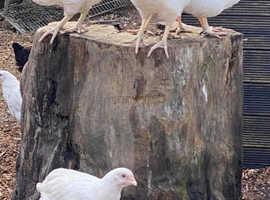 14 week old Silver hens