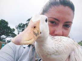 Wanted 5 heavy breed ducks