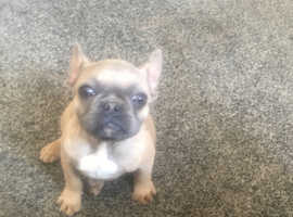 Adorable frenchie