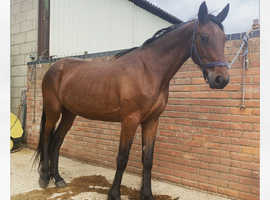 4 year old 15hh filly for sale