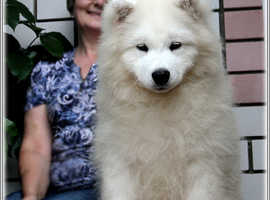 Excellent pedigree ancestors champions Samoyed puppies