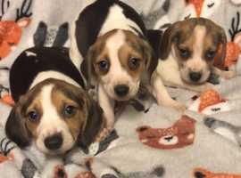 Beagle puppys