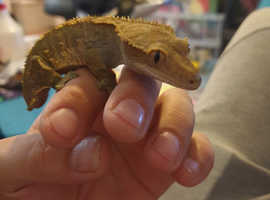 Beautiful Adult Harlequin Crested Gecko