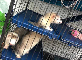 2 ferrets and cage for sale
