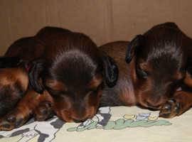 Miniature Dachshunds  Long-haired  KC reg
