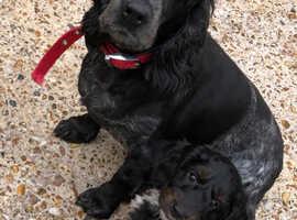 9 week old Tri-Coloured Cockerpoo Puppy