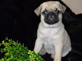 Puppies will come with a 5 generation pedigree from the Europe Dog Club.
