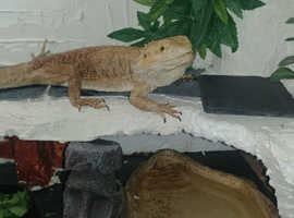 Two bearded dragons and full set up