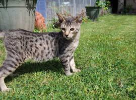 Serengeti teenage kittens reduced