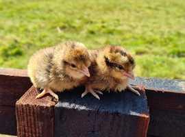 Brown leghorn chicks