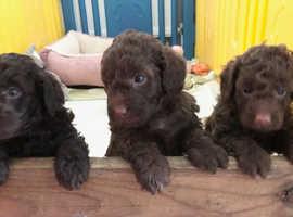 Beautiful cockerpoo puppies