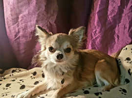(FOR STUD ONLY NOT FOR SALE ) long coat chihuahua