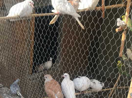 White and star doves