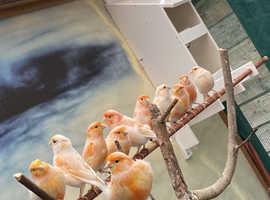 Mosaic canary's