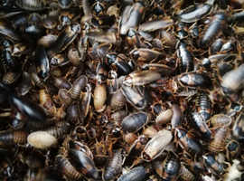 500 X mix size Dubia cockroach colony