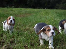 lovley beagle puppies