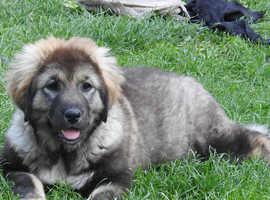 Caucasian Ovcharka female pup