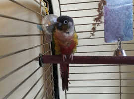 Selling  my 9 month old conure  chico