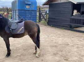 Stunning dun gelding