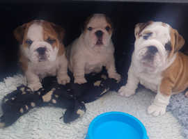 English Bulldog Puppies, KC Reg. Excellent bloodlines