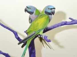 Derbyan Talking Parrot,20