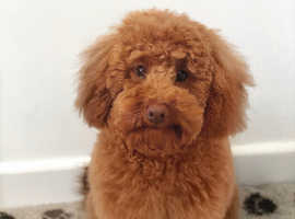 Red toy poodle for stud