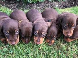 Lovely litter of miniature dachshund puppies