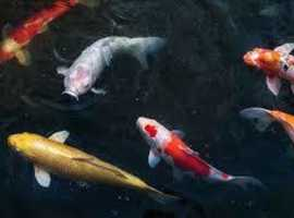 Wanted: Koi or carp