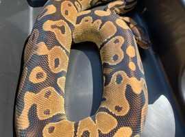 CB15 male het pied royal python
