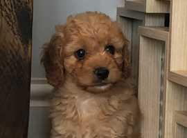 Cavapoochon Pup For Sale
