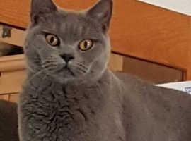 Female active gccf registered british shorthair cat