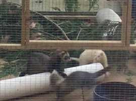 Missing ferrets