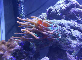 Large anemone + Large Maroon Clown Fish