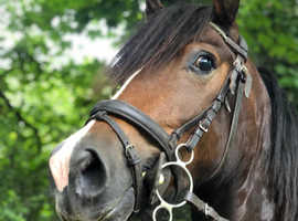 Stunning well bred 13.3h section D gelding