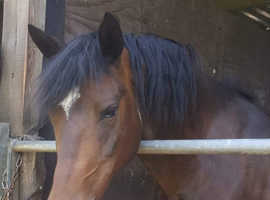 13.3hh 13 year old new forest mare
