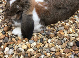 Stunning large french lop buck