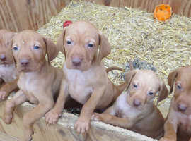 Hungarian Vislas Puppies to rehome