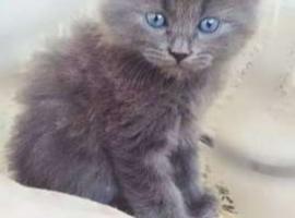 Wanted russian blue female kitten