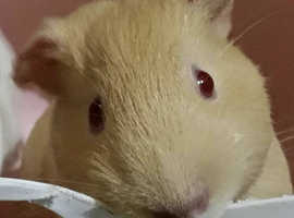 Looking for a friend for my guinea pig